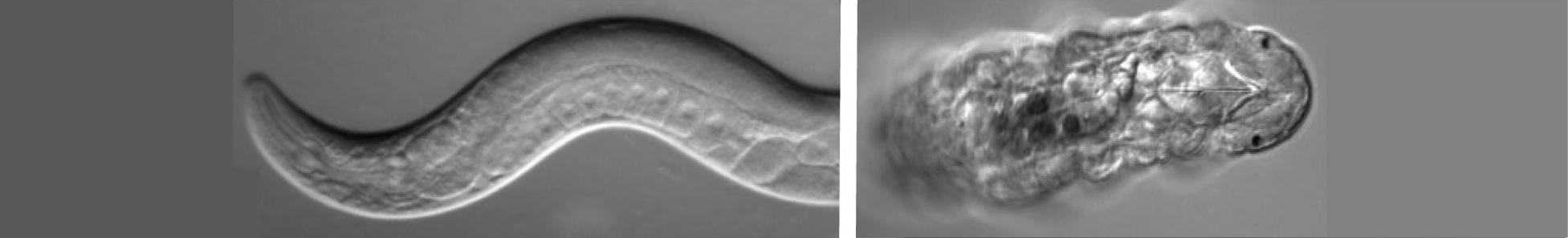 c  elegans resources